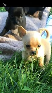Teacup Chihuahua Puppies!