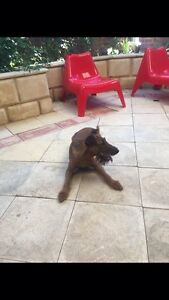 Irish terrier puppy South Perth South Perth Area Preview