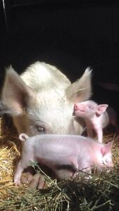 Mini piglets, real friendly and tame Nana Glen Coffs Harbour Area Preview