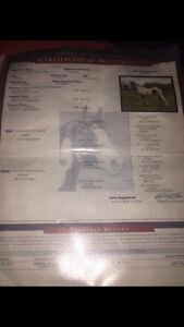 Registered 5 year old APHA gelding