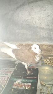 Roller pigeon found with blue band