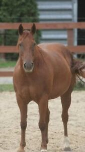 Quarter horse mare 9years old