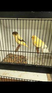 Canaries / budgies Uralla Uralla Area Preview