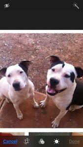 Staffy X bulldog pups Elizabeth Downs Playford Area Preview