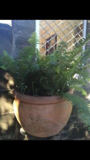 Two terracotta pots with fish bone ferns $40 each! Charlestown Lake Macquarie Area Preview