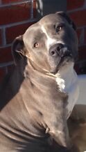Blue American staffy with papers Point Cook Wyndham Area Preview
