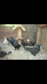 Pigeons and Canaries for sale Wetherill Park Fairfield Area Preview