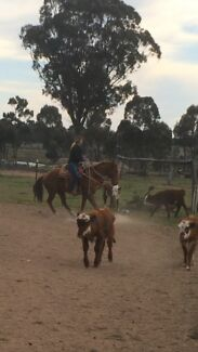 Campdrafter/ team penning/ barrel or rope horse Dubbo 2830 Dubbo Area Preview