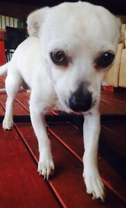 1year old male chihuahua Tahmoor Wollondilly Area Preview