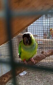 Nanday Conure breeding pair The Oaks Wollondilly Area Preview
