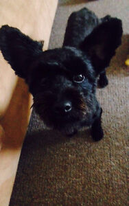 Rehomed! Marie, toy poodle x Melton Melton Area Preview