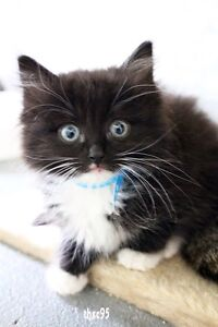 Fluffy 8 Week Old Rescue Kitten Umina Beach Gosford Area Preview
