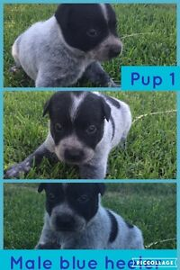 Red and blue healer pups Lake Albert Wagga Wagga City Preview