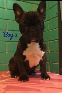 French bulldog puppies Penrith Penrith Area Preview