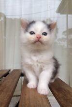 Ragdoll X Domestic Long Hair Kittens Blackburn North Whitehorse Area Preview