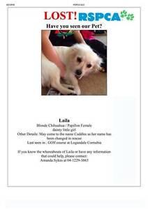 Missing Female Dog - Cornubia - Logan Region - White Chihuahua Loganholme Logan Area Preview