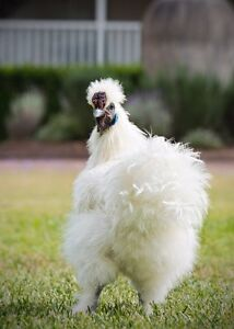 Pure Bred Silkie Rooster Brookfield Brisbane North West Preview
