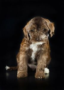 Miniature Australian Labradoodle Puppies Brookfield Brisbane North West Preview