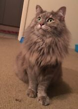 Smoochy , playful, fluffy torti female cat , vet work done Merriwa Wanneroo Area Preview