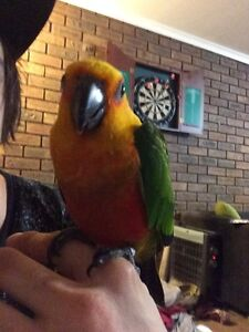 Jenday conure Warragul Baw Baw Area Preview