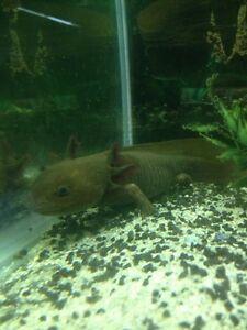 2 Axolotl Mexican walking fish $35each Elizabeth Playford Area Preview