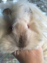 Guinea pigs for sale. Sheba Eumemmerring Casey Area Preview
