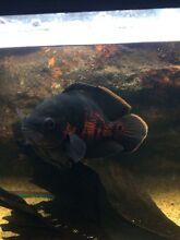 Oscar Fish North Tivoli Ipswich City Preview