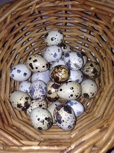 Fertile Japanese quail eggs Thirlmere Wollondilly Area Preview