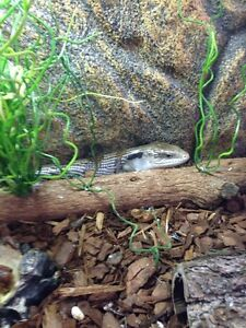 Blue Tongue Lizard Forest Lake Brisbane South West Preview