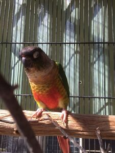 CONURES x 2 URGENT SALE Guanaba Gold Coast West Preview