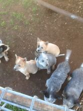Heeler pups Warrenheip Ballarat City Preview
