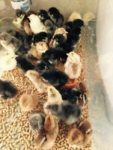 Day old chicks Easter egger, welsummer, Maran x Joyner Pine Rivers Area Preview