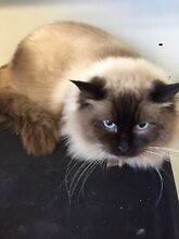 Adult male rag doll Castlereagh Penrith Area Preview