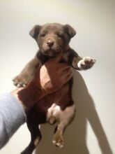 Beautiful kelpie puppies for sale Nubba Harden Area Preview