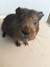 Free Guinea Pigs (Girls) Carrum Kingston Area Preview