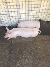 Boar (male pig) wanted Lesmurdie Kalamunda Area Preview