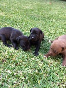 Belgian Shepard x staffy puppies Forster Great Lakes Area Preview