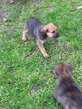 English mastiff x kelpie puppies Table Top Greater Hume Area Preview