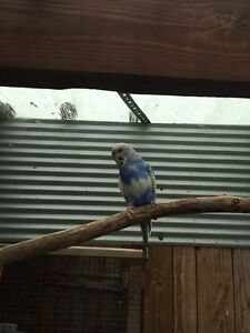 Adult Breeding Budgies Narre Warren South Casey Area Preview