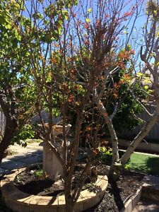 Pommegrate tree Kingsley Joondalup Area Preview