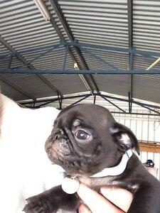 Pug puppies Pakenham Cardinia Area Preview