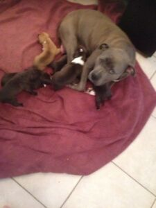 Blue Staffy pups Langwarrin Frankston Area Preview