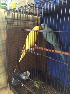 Aviary indian ringneck 50$ each Banyo Brisbane North East Preview