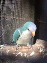 Proven breeding pair of quakers Greystanes Parramatta Area Preview