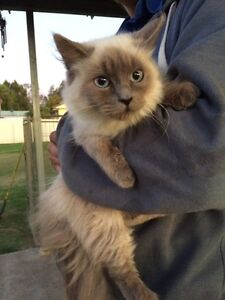 Rag doll female Lochinvar Maitland Area Preview