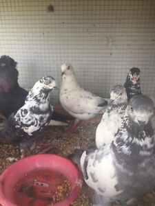 Pigeons Pakenham Cardinia Area Preview