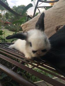 Female Neverland dwarf x mini lop rabbit Armidale Armidale City Preview