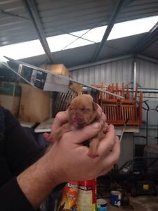 American red nose staffy pups pure breed 7 left Scamander Break ODay Area Preview