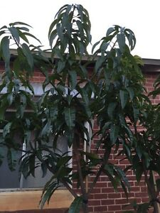Mango tree, Grafted Kensington, 6 years old, in pot Inglewood Stirling Area Preview