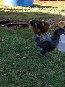 Roosters mixed breeds Wasleys Gawler Area Preview